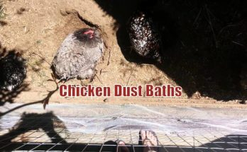 Chicken Dust Baths