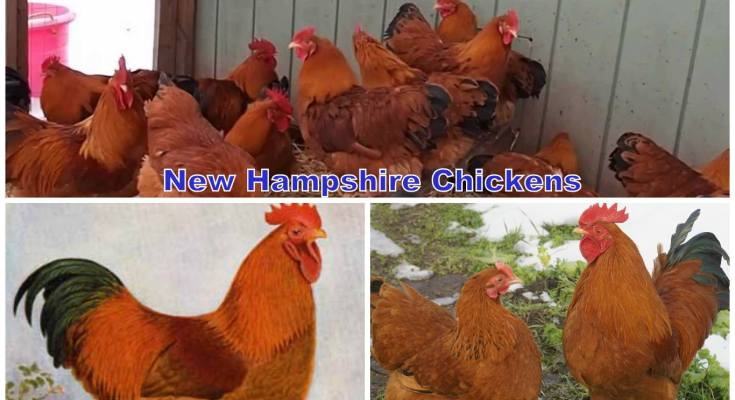 New Hampshire Chickens