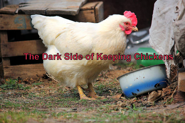 The Dark Side Of Keeping Chickens