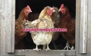 Raising Friendly Chickens