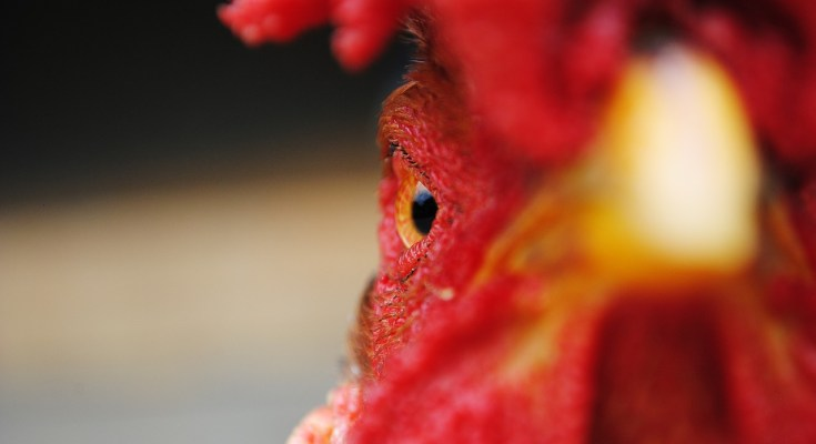 Things Everyone Should Know About Chickens