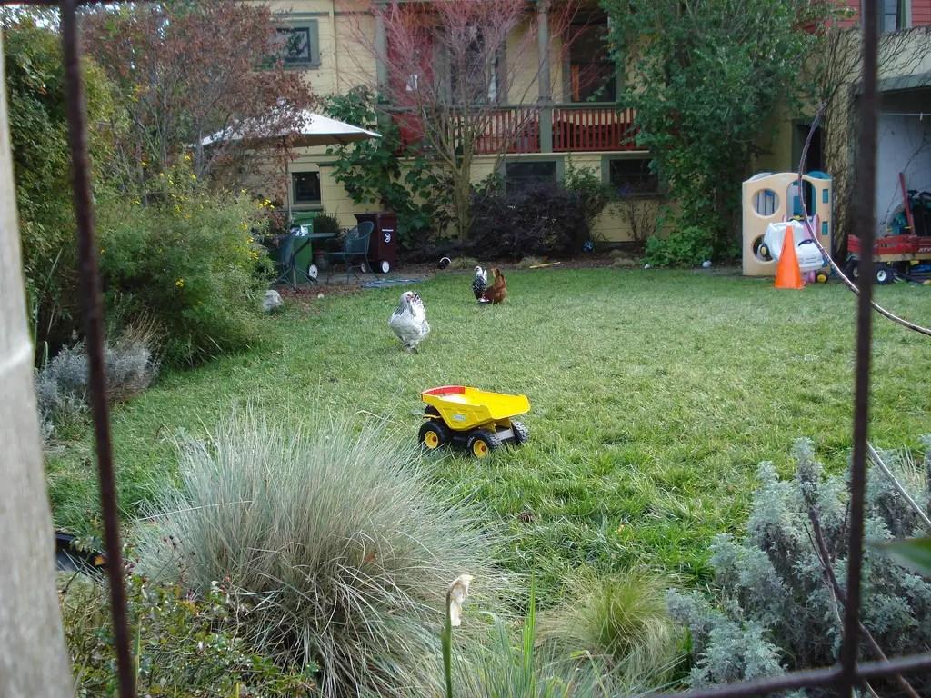 100 backyard chicken blog the chicken clever blog hop 80