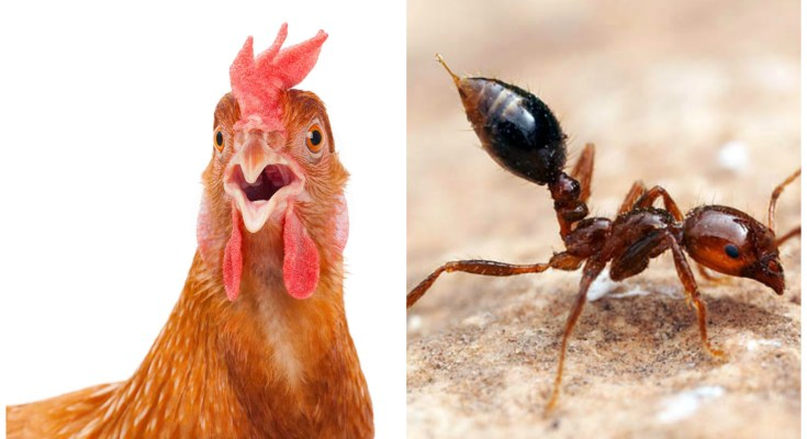 Fire Ants Around Chickens