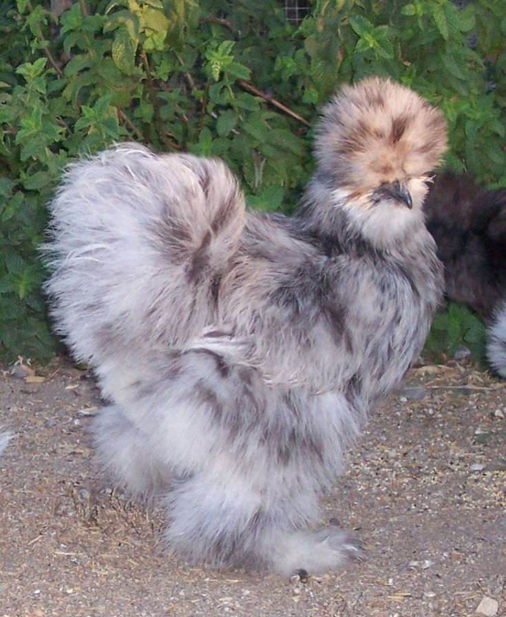 Weird & Unusual Chicken Breeds
