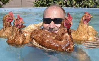 chickens swimming