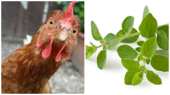 Oregano For Chickens
