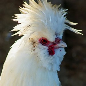 silkie rooster temperament