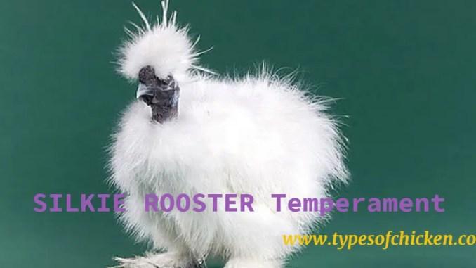 Silkie rooster Temperament