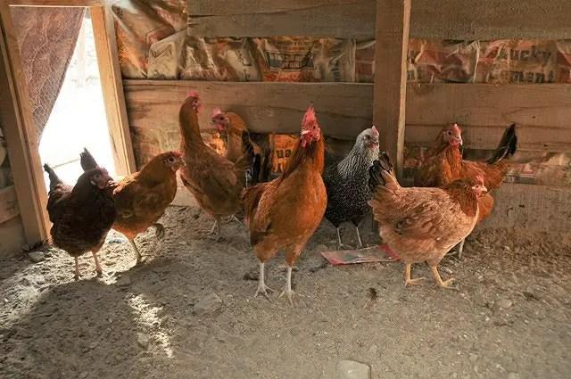 Chicken Health Problems