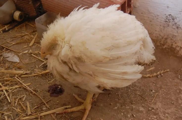 Chicken Health Problems - Coccidiosis