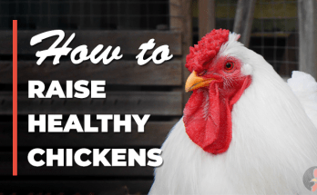 raise healthy chickens