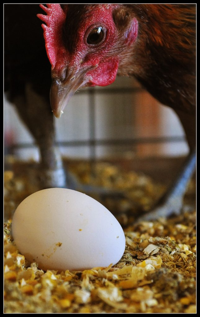 Why do chickens eat their own eggs?