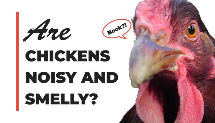 Noisy Chickens