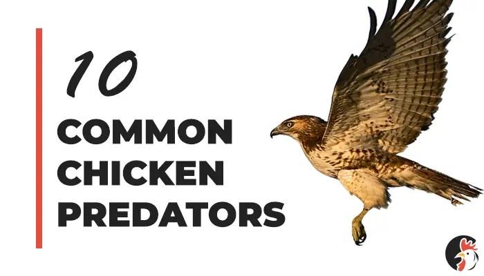Top 10 Chicken Predators
