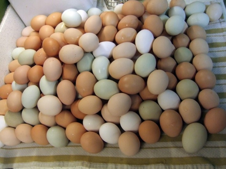 Chicken eggs, blue eggs, types of chicken eggs, chicken egg color chart