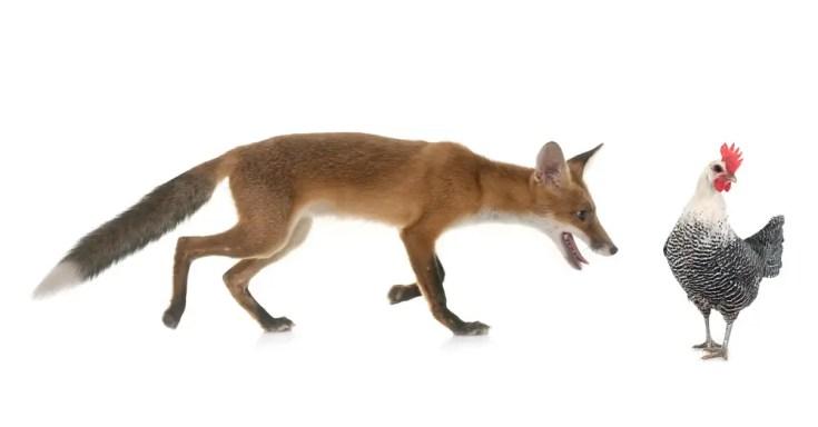 Fox chasing a chicken