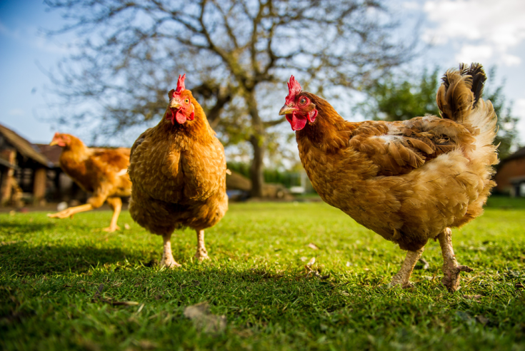 Why do chickens bully and peck each other?
