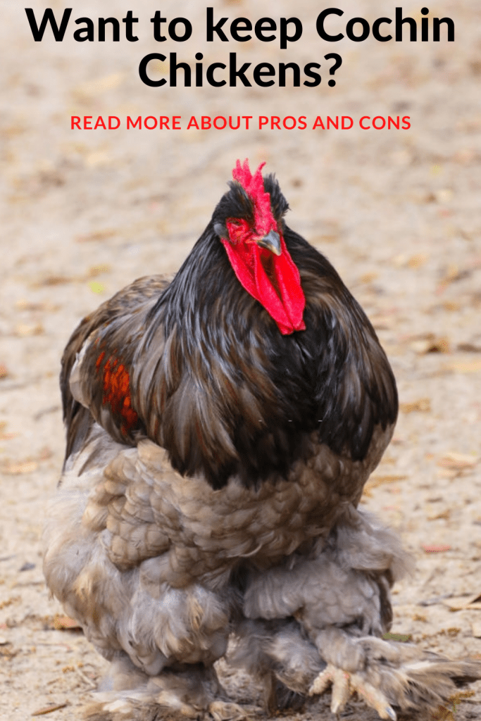 Raise Cochin Chickens with this Pros and Cons