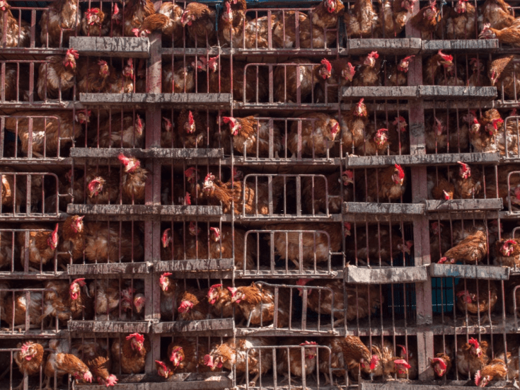 Large cage full of living hens for sale, Turkey