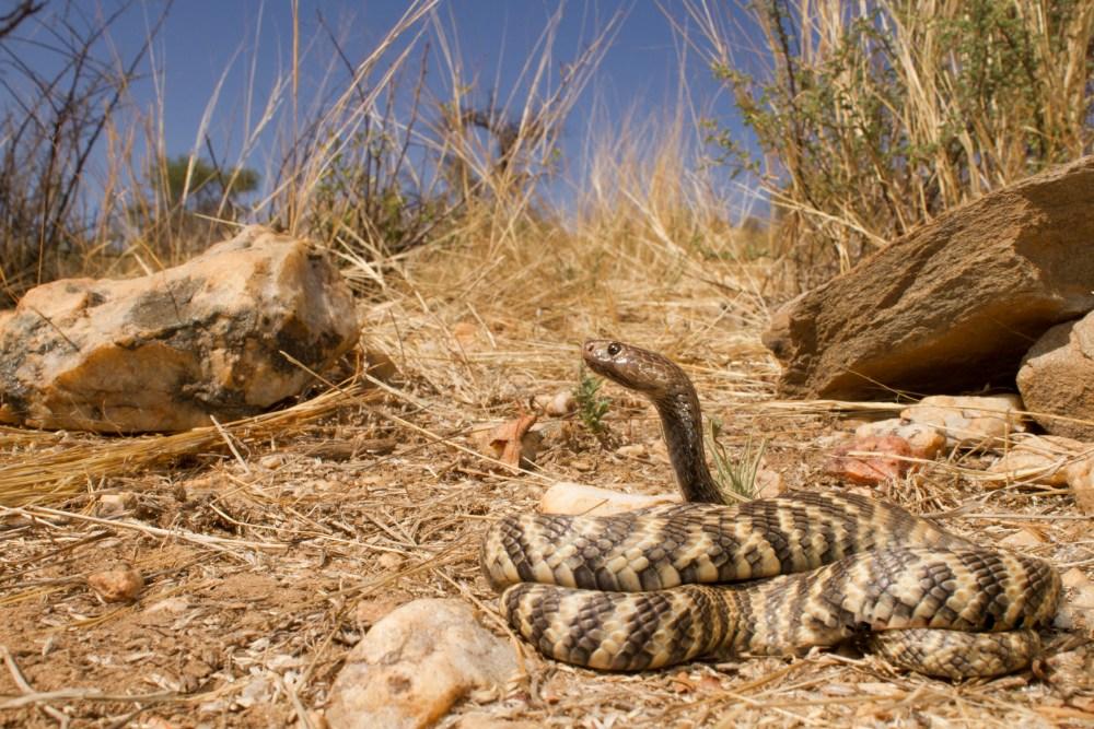 Naja nigricincta nigricincta   Western Barred Spitting Cobra  