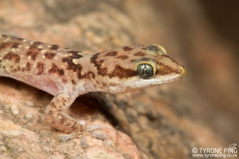 Pachydactylus bicolor |Two-coloured Gecko | Tyrone Ping | Namibia