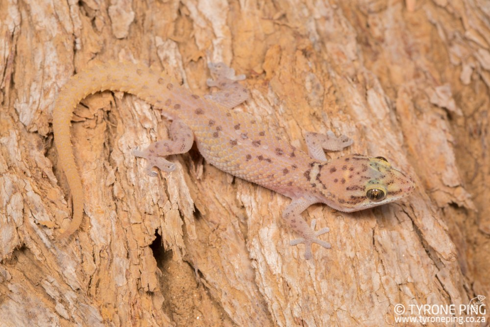 Pachydactylus scutatus | Large Scaled Gecko | Tyrone Ping | Namibia