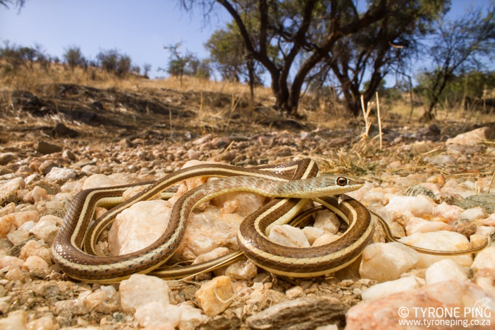 Psammophis subtaeniatus | Western Striped Bellied Striped Sand Snake | Tyrone Ping | Namibia