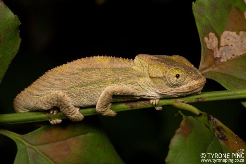 Bradypodion_damaranum_Knysna Dwarf Chameleon