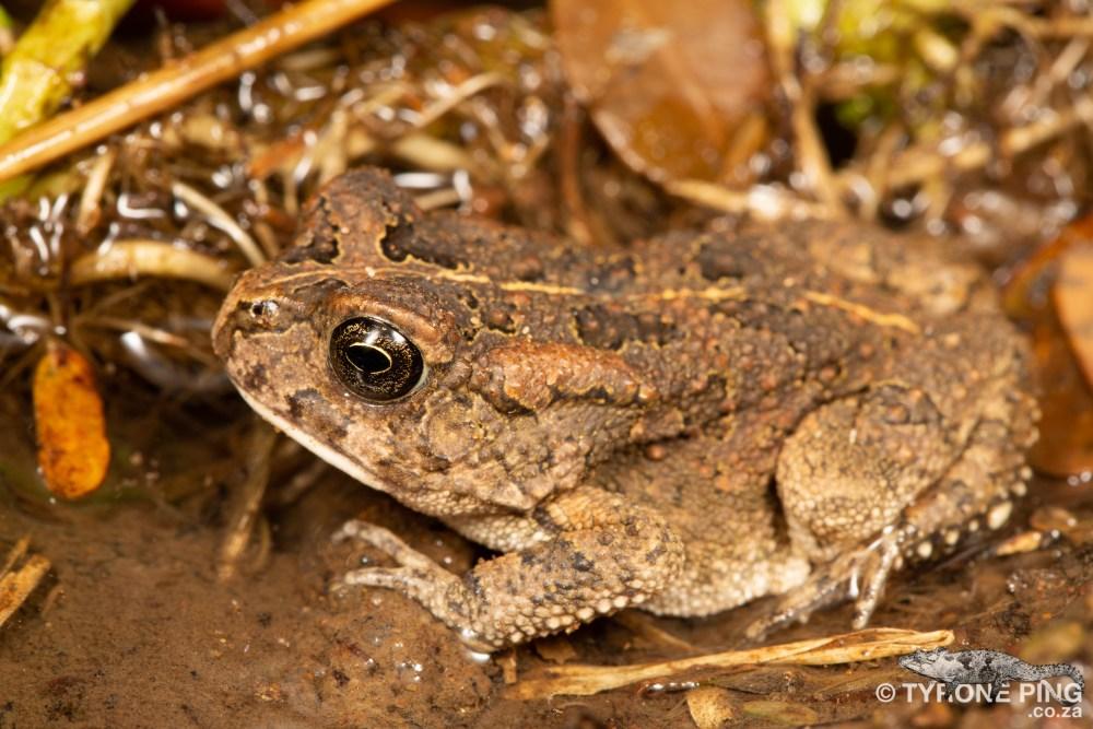 Sclerophrys gutturalis | Guttural Toad | Hluhluwe