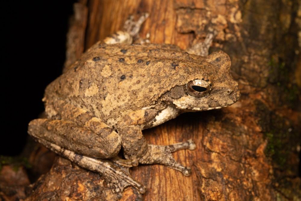 Foam Nest Frog | Chiromantis xerampelina | Tyrone Ping
