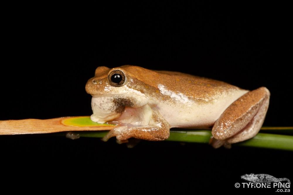 Painted Reed Frog   Hyperolius marmoratus taeniatus   tyrone Ping