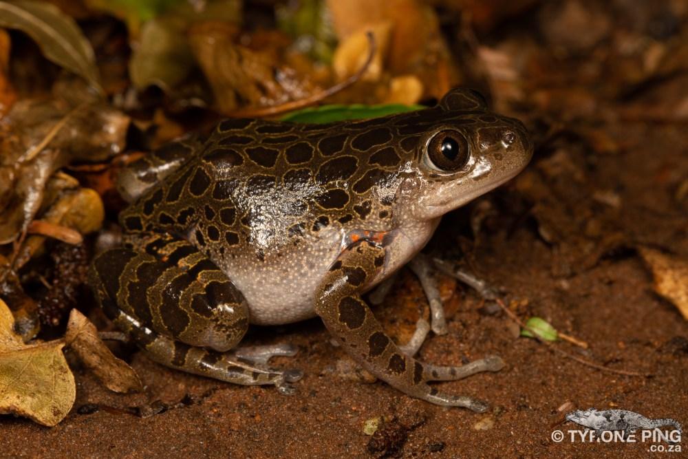 Phlyctimantis maculatus -   Red Legged Running Frog   Tyrone Ping