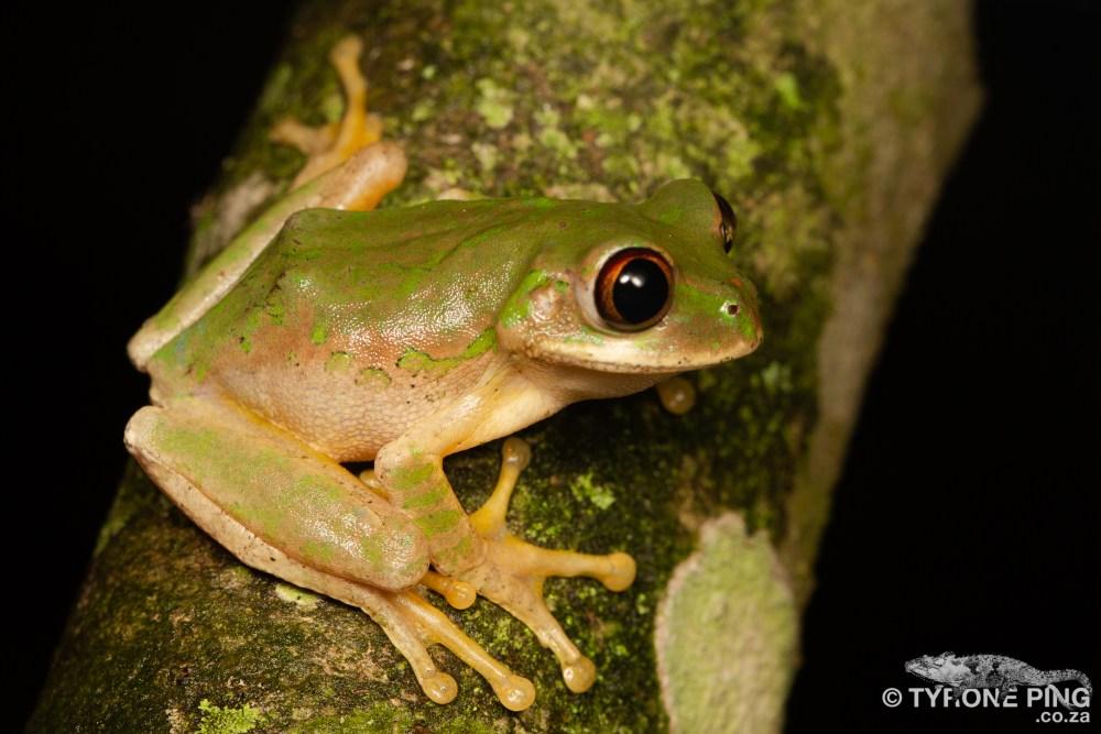 Leptopelis-natalensis_Natal_Forest_Tree_Frog