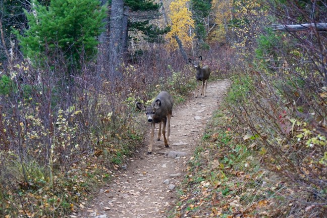 Mule Deer on Bears Hump