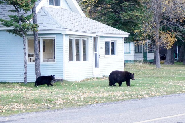 Bears on Waterton townsite