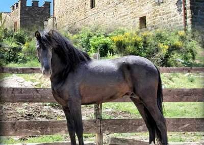 Allevamento Giomici Castle Horses, Località Giomici Valfabbrica (Pg)