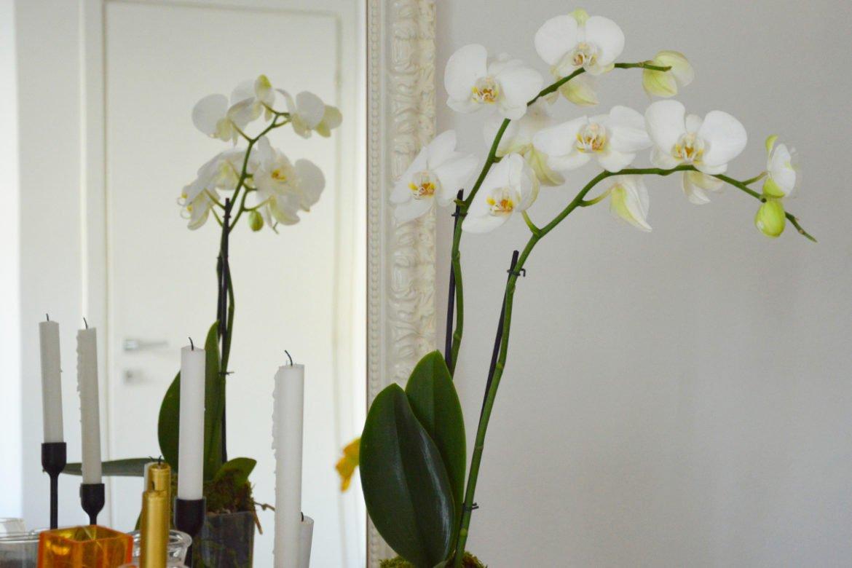 Cymbidium Cimbidio Orchidea Consigli Coltivazione E Cura