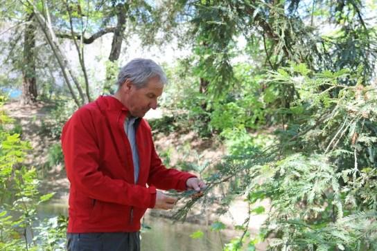 Man looks at redwood tree needles