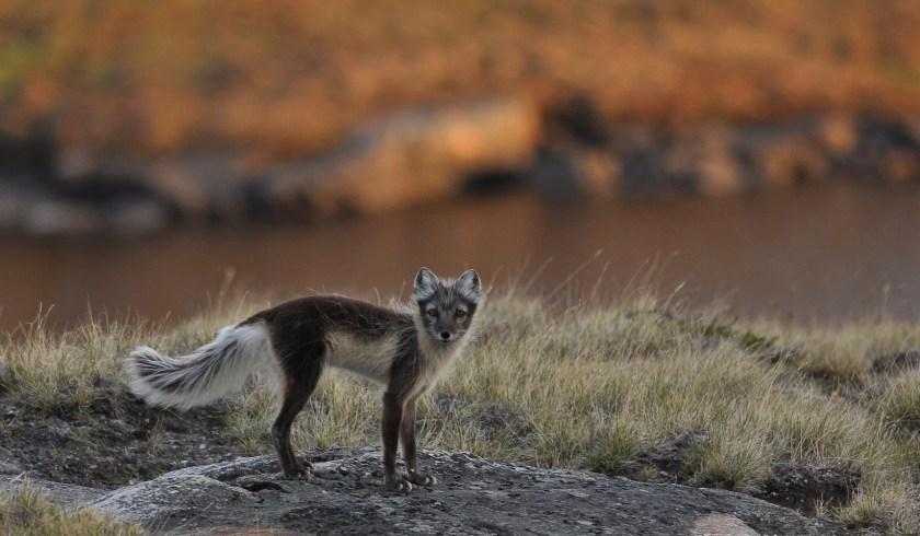 Arctic fox in Siberia