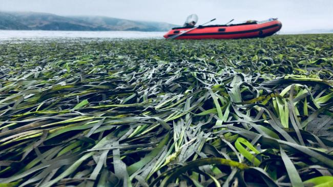 seagrass spreads across bay with red boat in background