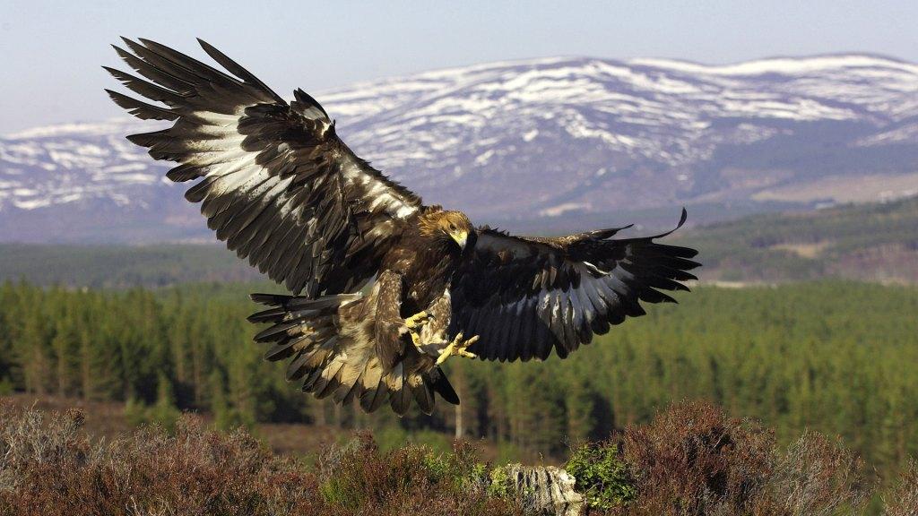 vultur alb negru
