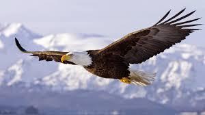vultur liber