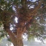 شجرة الجميز