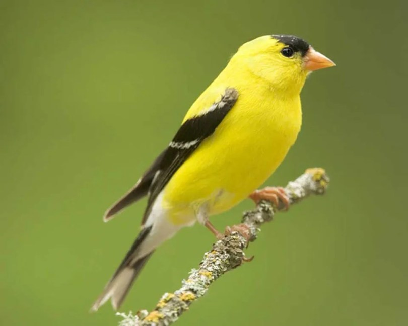 Bright yellow and black male American goldfinch