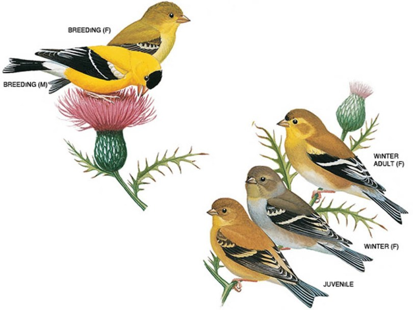 Drawings of American goldfinches