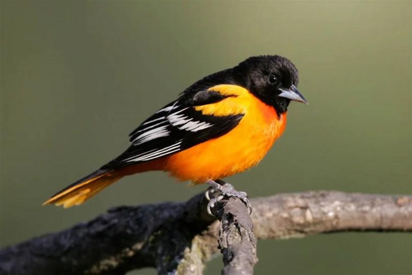 Bright orange and black male Baltimore oriole on a branch