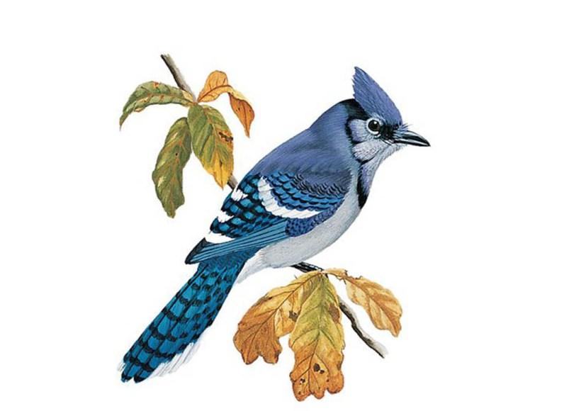 Drawing of a blue jay