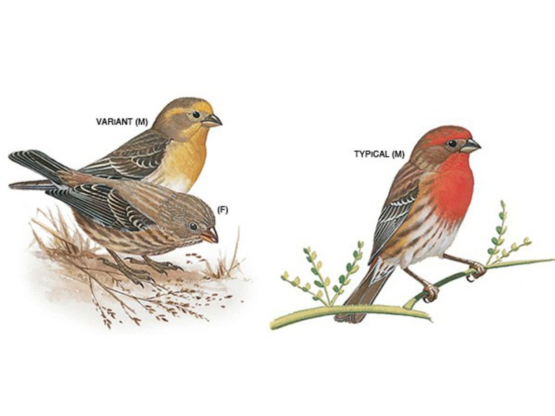 Drawings of house finches