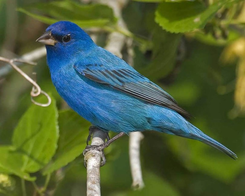 Bright blue male indigo bunting