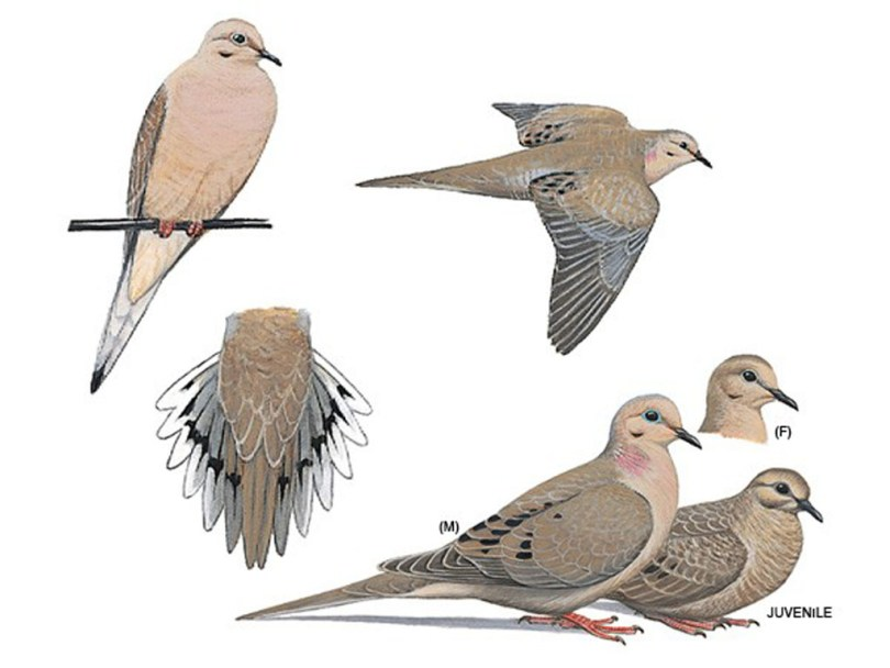 Drawings of mourning doves